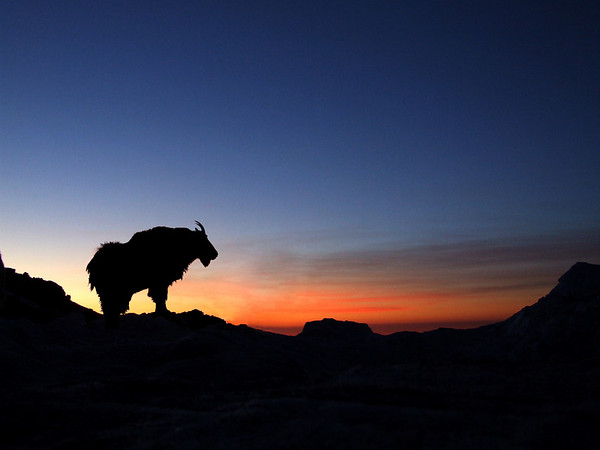 Sunrise on Mount Evans tinkered with in Photoshop (goat was facing the other way)