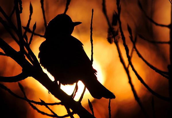 sunrise robin