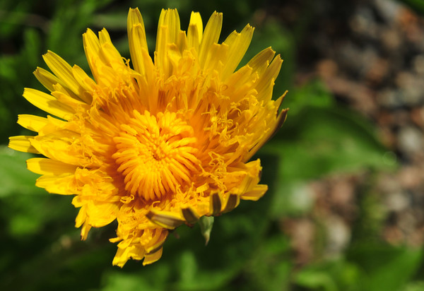 I rarely get to see a dandelion prior to full bloom!