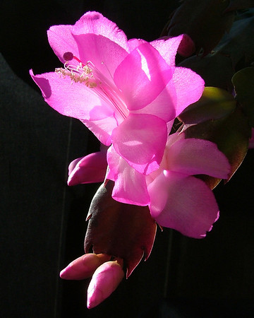 The first Christmas Cactus The Lizard brought me!