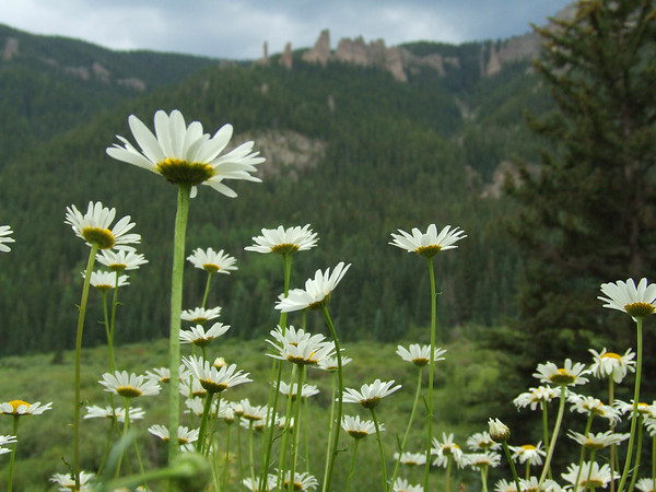 Daisies, Mill Creek, West Elks