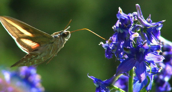 hummingbird moth sips from larkspur
