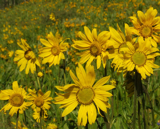 sunflowers, near Crested Butte