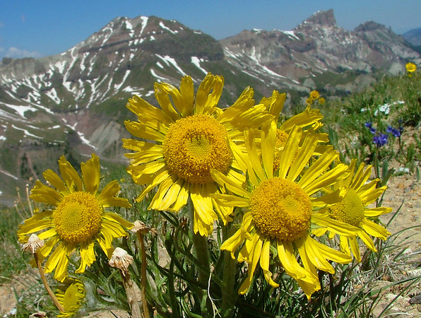 Alpine Sunflowers, Middle Fork of the Cimarron, Red Cliff, Precipice Peak