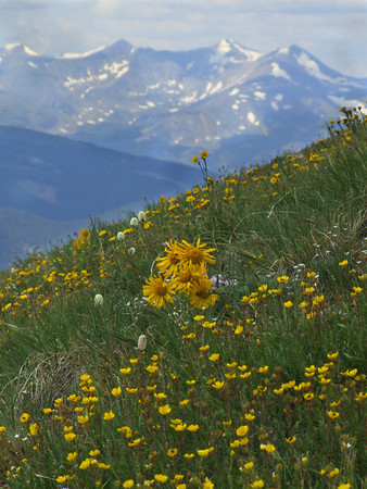 Cinquefoil and Alpine Sunflowers near Glacier Peak
