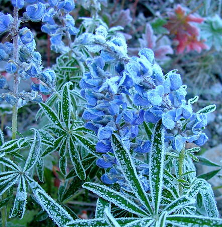 Frosty Lupine in the Middle Fork of the Cimarron