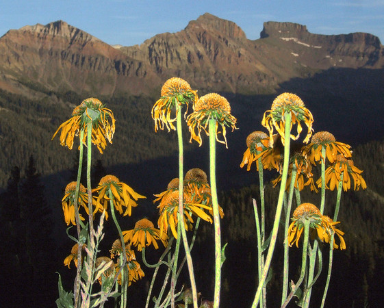 end of the season for these sunflowers on the slopes of Courthouse Mountain
