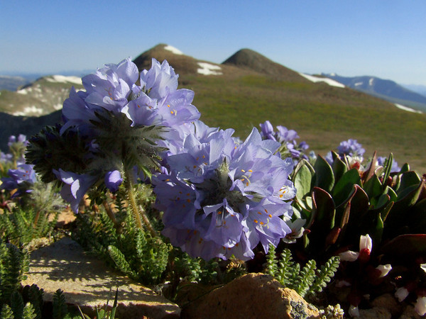 Sky Pilots, my favorite mountain wildflower, in front of Gemini Peak