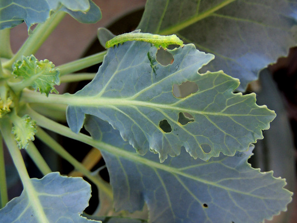 Stop eating my kohlrabi!!!