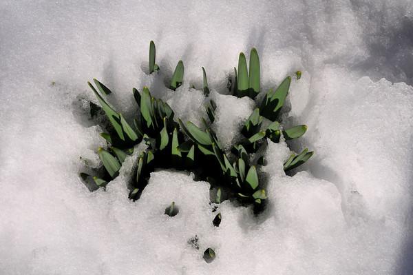 Peekaboo Daffodils