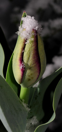 my very first parrot tulip