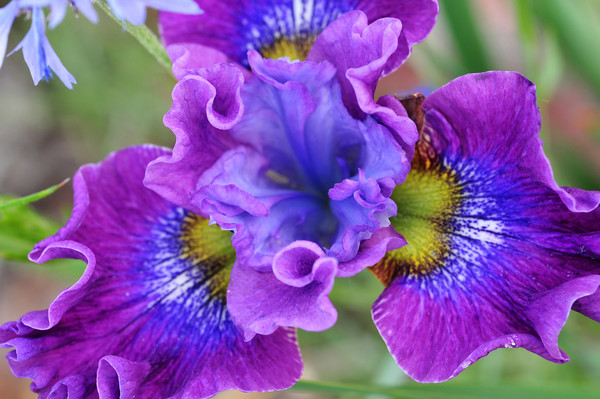 Siberica Strawberry Fair Iris