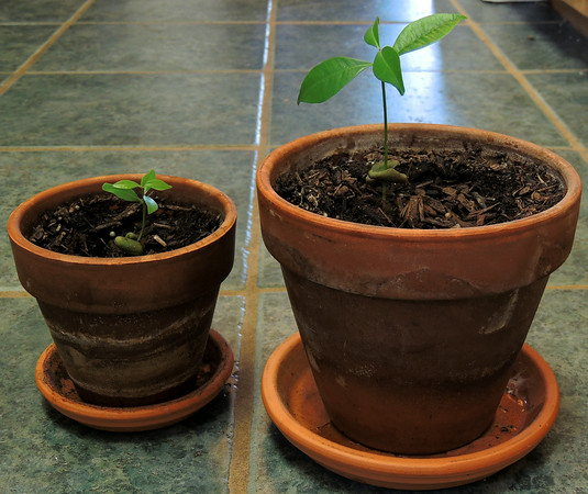 clove tree seedlings