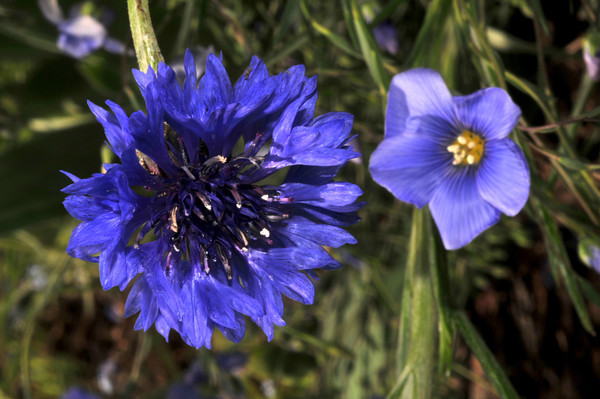 bachelor button and blue flax
