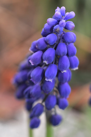 my grape hyacinth in 2012