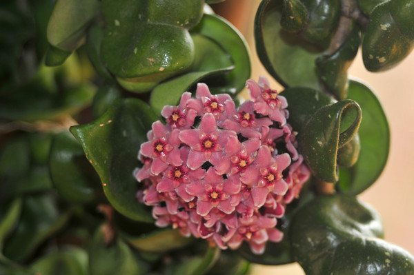 An innocent-looking but infested hoya.  Notice the white blotches beneath some of the blossoms.