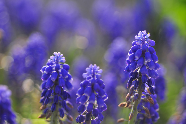 field of grape hyacinth