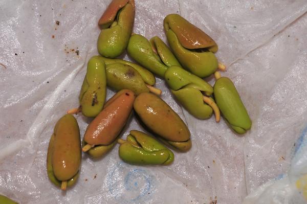 clove seedlings