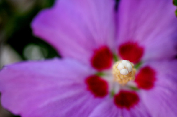 eye of the hibiscus