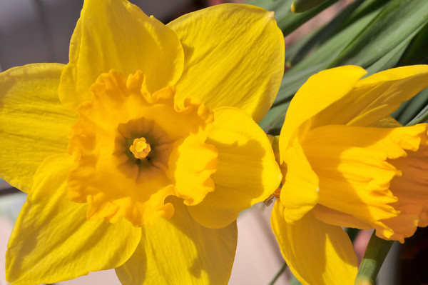 Daffy Yellow