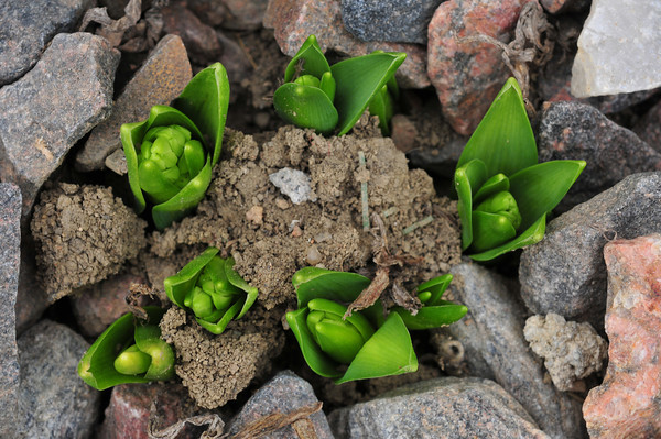 second signs of spring - hyacinth