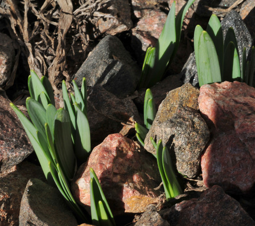 first signs of spring - daffodils