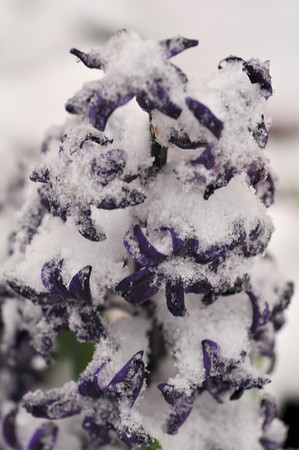 Iced Hyacinth