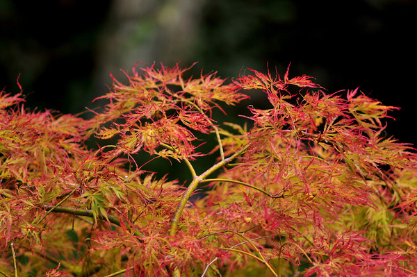 Glorious Japanese Maple