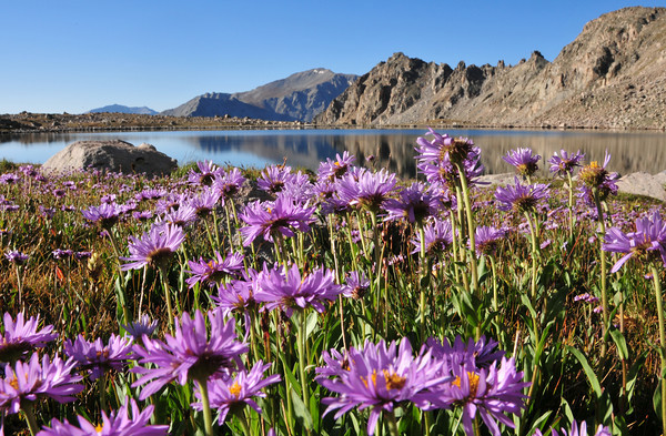 Mount Yale towers over asters at Bear Lake