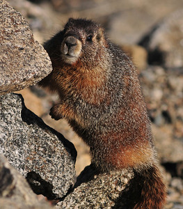 marmot on Mount Evans tundra