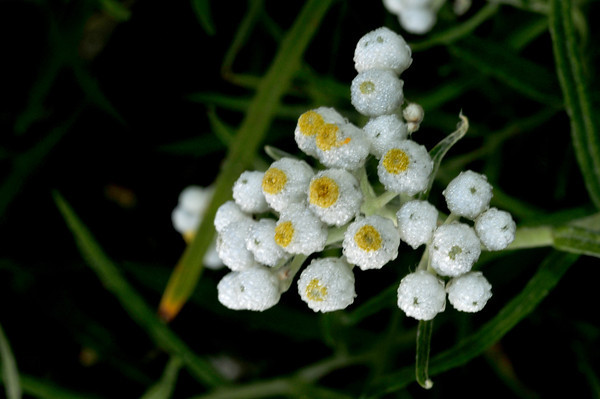 crystalized pearly everlasting