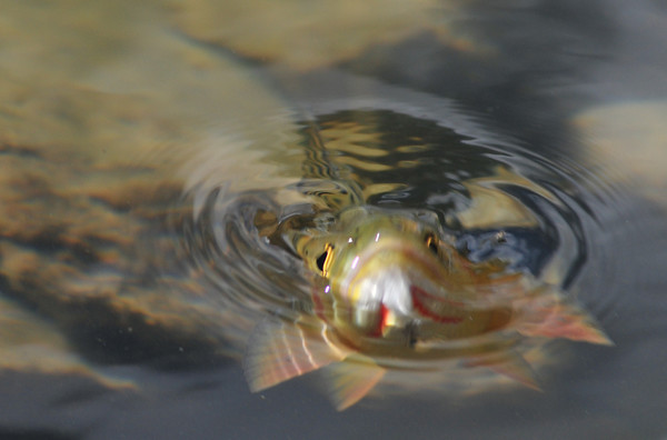 A cutthroat devours a real fly on Upper South Colony Lake.