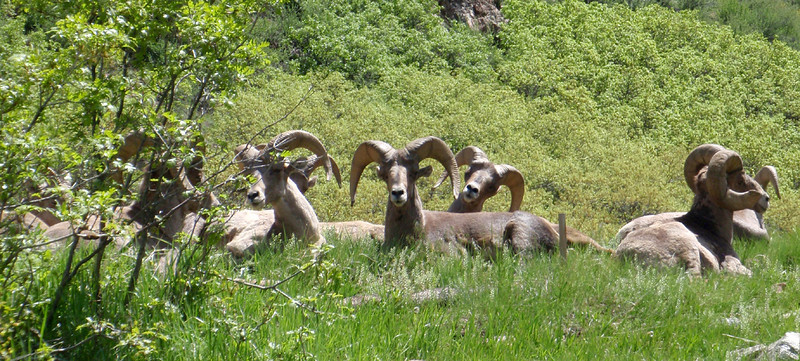 Bighorn rams chillin' as I ride by on a typical mountain bike ride up Waterton Canyon.