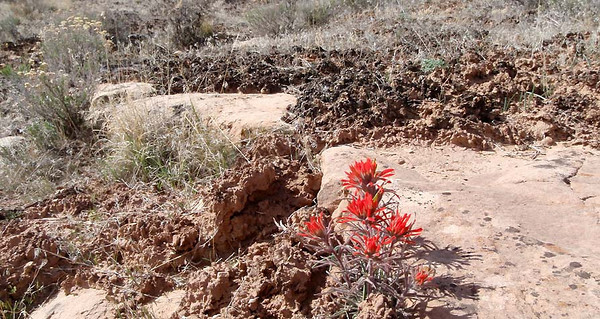 Indian Paintbrush and other flowers are beginning to bloom, some more H20 and they may grow like crazy
