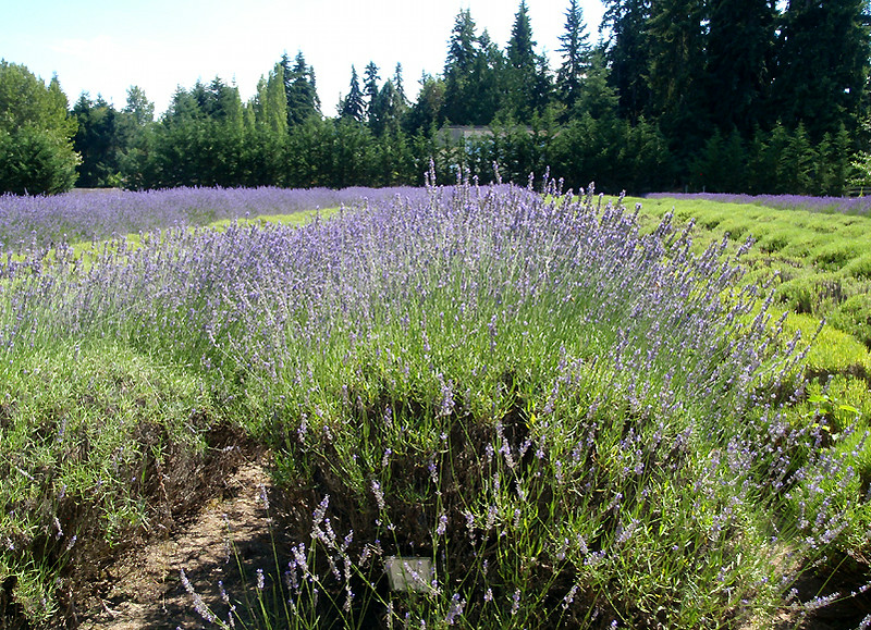 Lavender row at The Lost Mountain Lavender Farm.