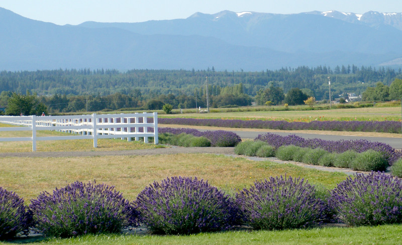 Lavender of the Washington Lavender Farm.