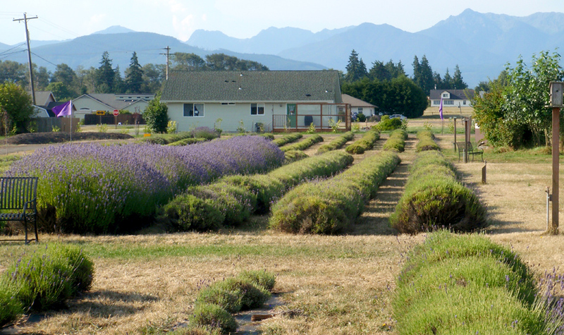 Lavender rows of the Olympic Lavender Heritage Farm.