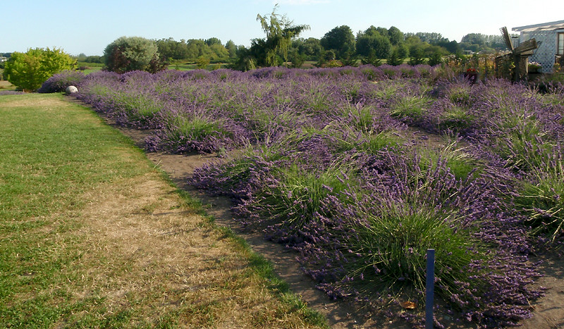 Lavender fields of the Jardin du Soleil Farm.