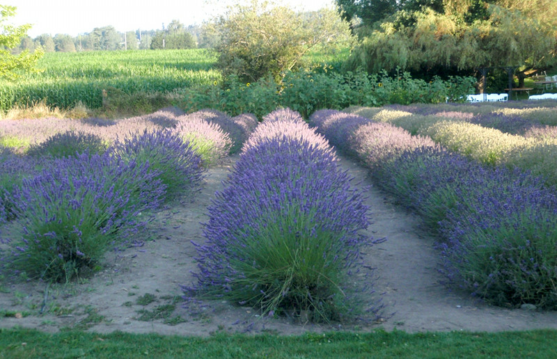 Lavender rows of the Purple Haze Farm.