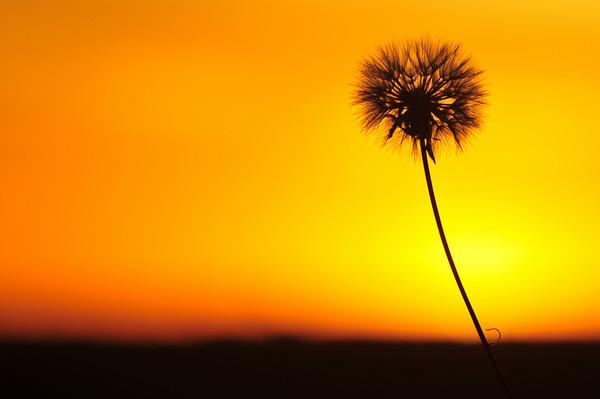 Dandelion Sunrise
