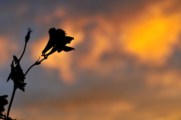 columbine silhouette