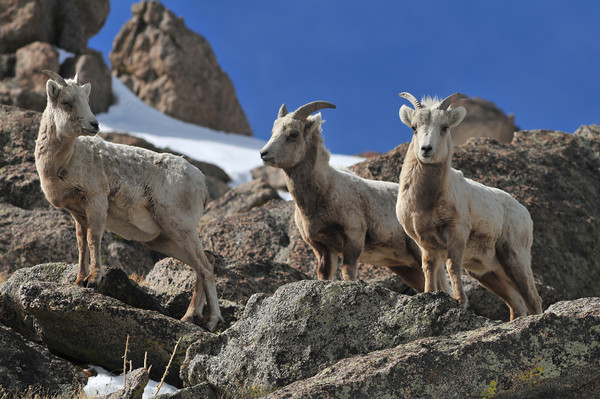 bighorn sheep on Mount Evans
