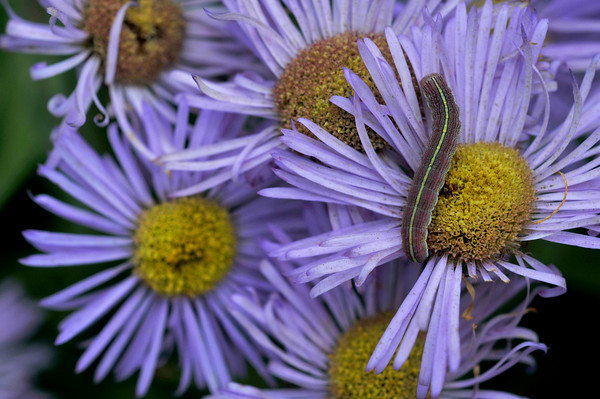 asters and caterpillar