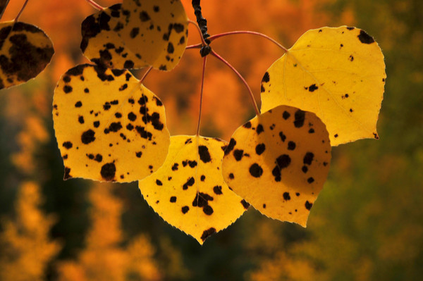 leopard leaves