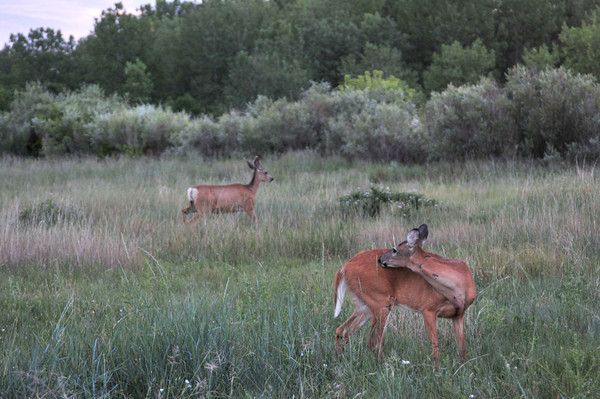 Three times this summer I was treated to deer on the Greenway.