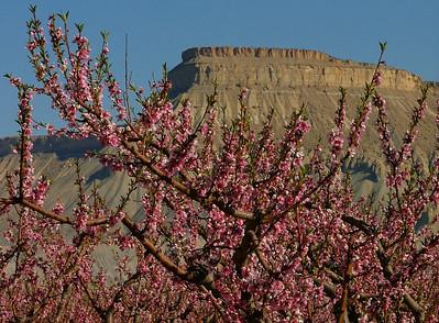 Palisade Peach Blossoms frame Mount Garfield