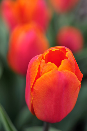 tulip majesty