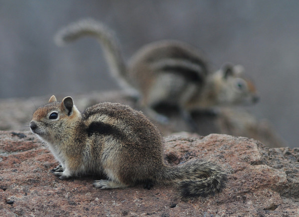 Golden Mantled Squirrels