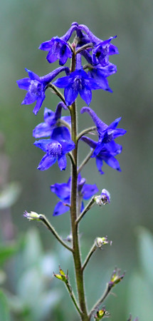 Larkspur along Schofield Pass