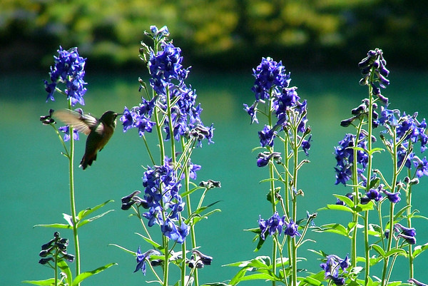 Blue Lakes hummer sipping larkspur